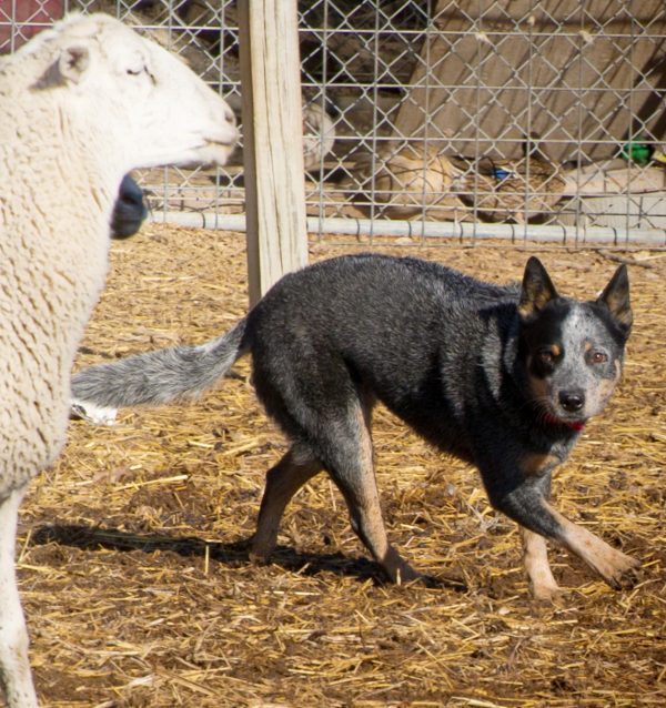 Australian Cattle Dog courtesy Sherry Clark. Field and Ranch Photography