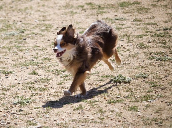 Miniature American Shepherd courtesy JD Smith