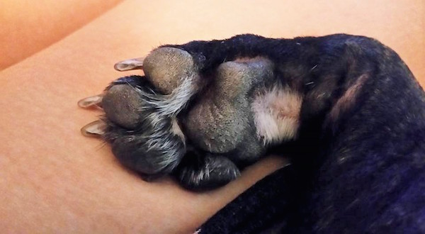 Frenchie Payson's paw.