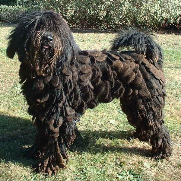 dog with dreads