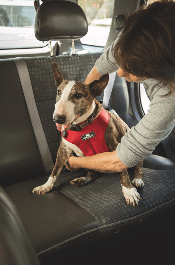 Just like a child, properly restrain your dog in the backseat with a crash test-approved car safety harness. (Photo by Gina Cioli/Lumina Media)