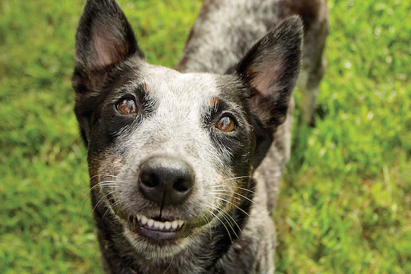 Blue heeler by Shutterstock.
