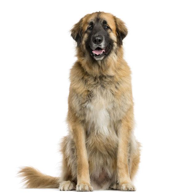 Leonberger by Shutterstock.