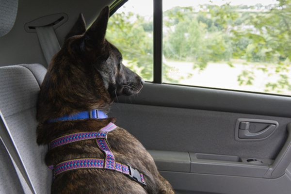 A dog riding in the backseat of a car, wearing a harness. Photography by peplow/Thinkstock.