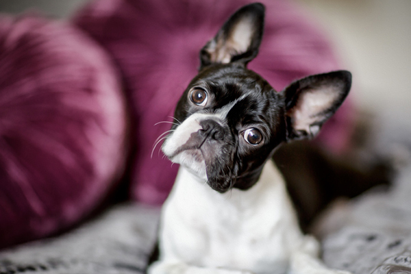 Boston Terriers aren't fans of summer's hot temperatures. Photography by nailiaschwarz/Thinkstock.