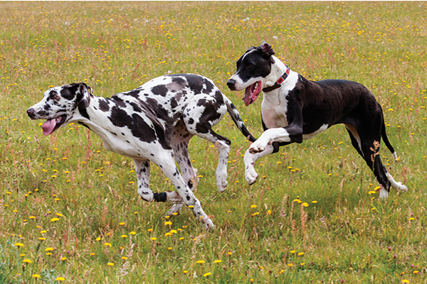 10 great dane facts