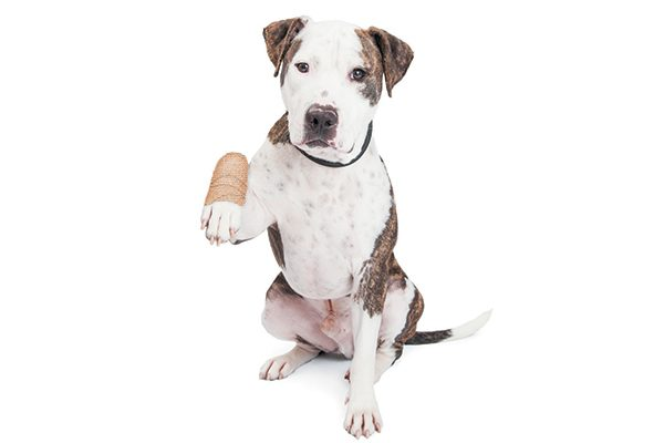 A black and white dog with a bandaged hand.