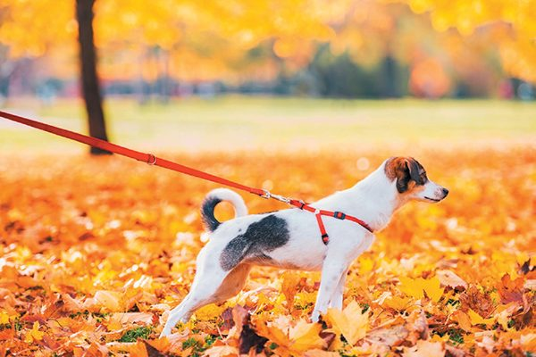 A dog pulling on his leash on a fall walk.