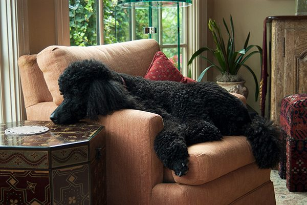 Standard Poodles are among the best dog breeds for first-time owners!