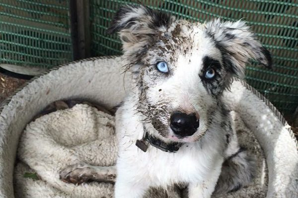 A blue-eyed Border Collie.