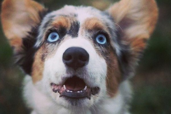 dogs with blue eyes