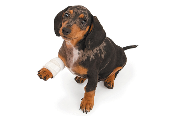 A puppy with a bandaged leg.