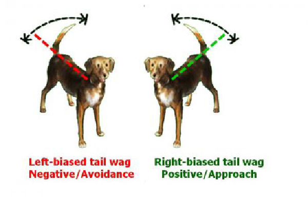 Dog tail-wagging signals.