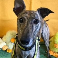 Donate Sofa To Charity Express Uk Reviews Easter Greyhounds Rehoming Push | Dogs Trust