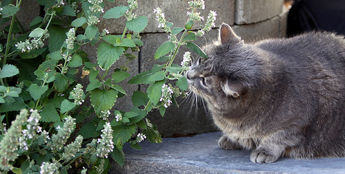 What Is Catnip And What Effect Does It Have On Cats Dog