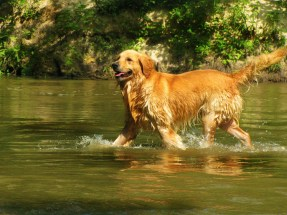 Photo du Golden Retriever dans l'eau.
