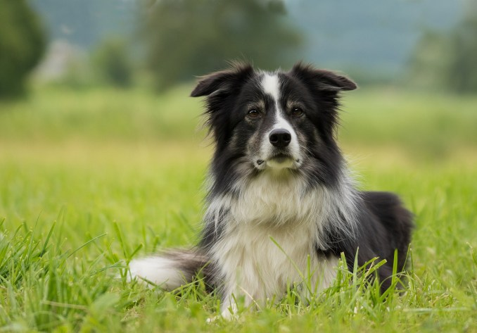 Le border collie.