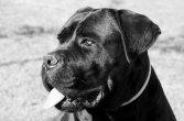cane-corso-4194063_1280