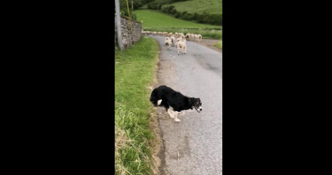 Un chien de berger au travail (Ecosse)