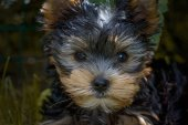 Chiot Yorkshire Terrier
