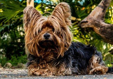 Yorkshire Terrier à poils longs