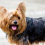 Focus sur le Yorkshire Terrier