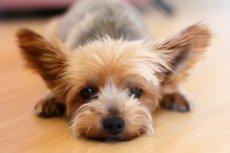 Yorkshire Terrier mignon
