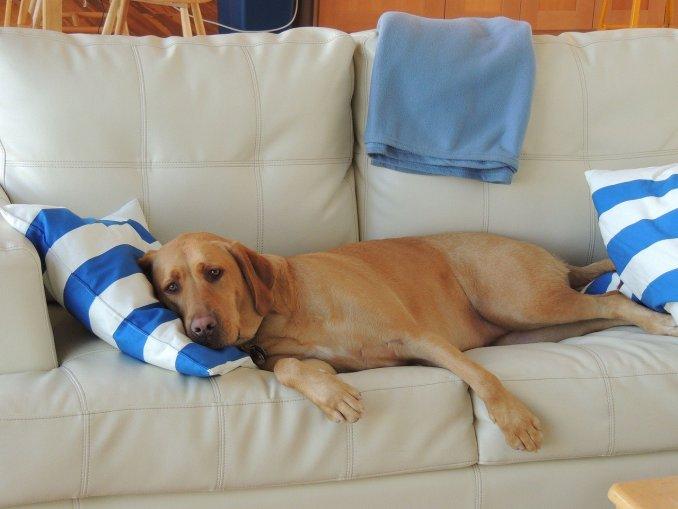 Chien couché sur le canapé