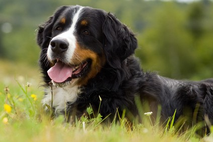 Image result for bernese mountain dog characteristics