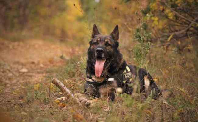 German Shepherd Temperament And What You Must Know About