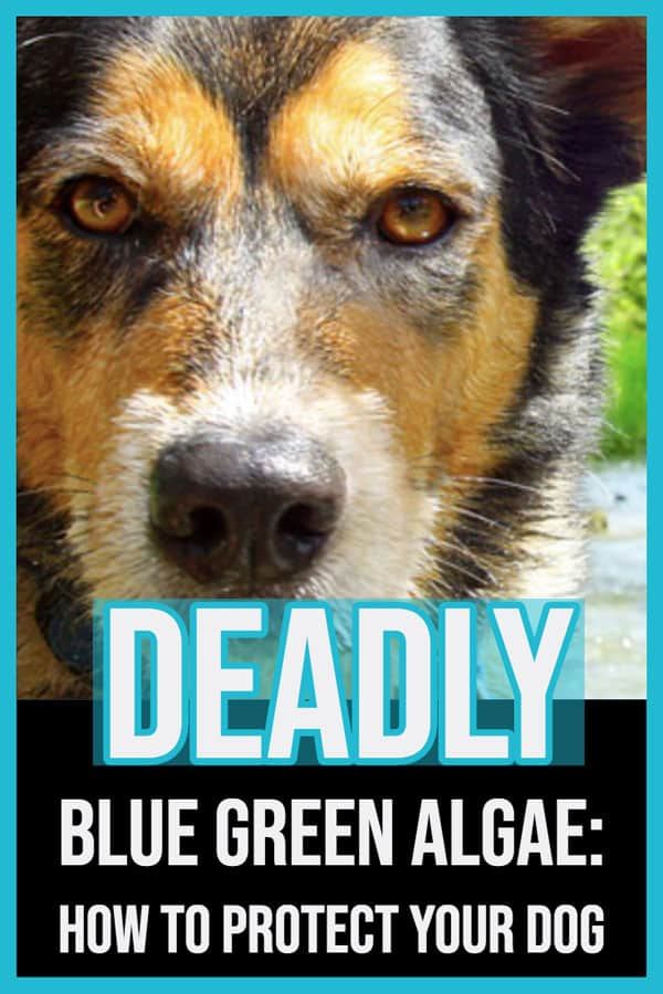 blue green algae dog safety
