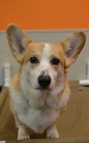 MacGuffin, the Pembroke Welsh Corgi takes his playtime seriously!