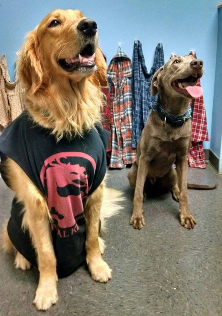 Fargo Golden Retriever & Savannah Wiemeraner Lab mix, Time Warp Tuesday 90s Grunge Day