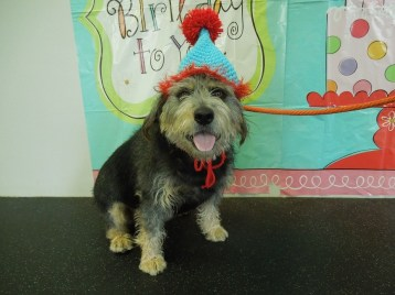 Dog boarding spa daycare wilmington dogtopia elsmere tyson browne the terrier mix celebrating his birthday solutioingenieria Image collections