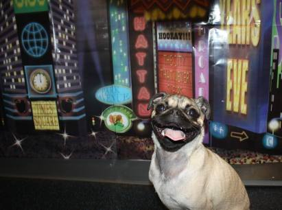 Spiller the Pug, excited for the new years