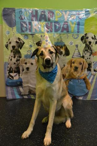 Tole, Anatolian Shepherd on his 3rd Birthday