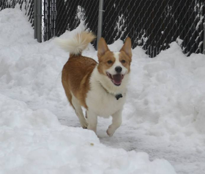 Sigmund, Corgi, enjoying the snow