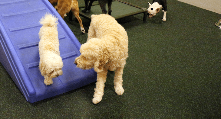 Coton de Tulear Lily and Cockapoo Miyagi are curious about each other at Dogtopia Erindale in Mississauga.