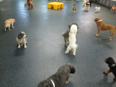 Dogs playing at Dogtopia