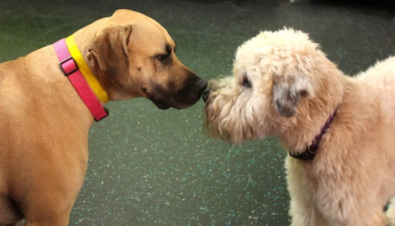 Lanai, the Mastiff mix and Winston, the Wheaton Terrier, are fast friends!