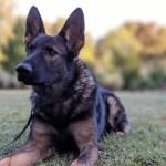 Major Bloodlines Of The German Shepherd Dog Dog Trainer College