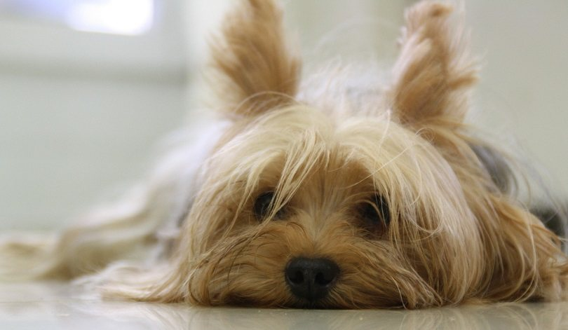 Yorkies 5 Interesting Facts You Didnt Know