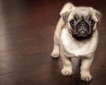 dog urine on hardwood floors