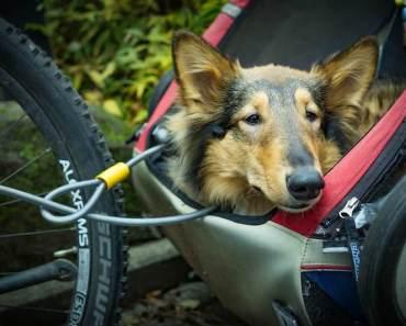 dog trailer on bike
