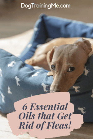 Essential Oils to Get Rid of Fleas