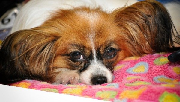 best dog breed papillon