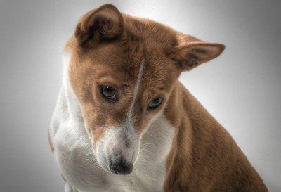 dog breeds for allergy sufferers basenji