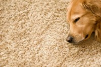 4 Tips to Keep Carpets Clean With Dogs + Recommended Products