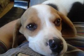 Beagle Era