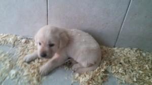 Cucciolo di labrador in vendita da Dog Village Ferrera di Varese